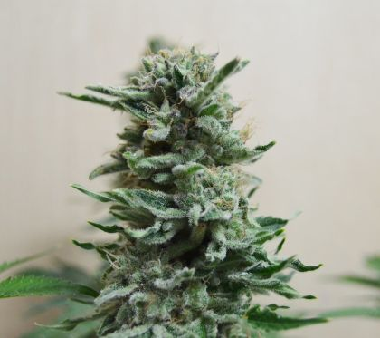 Featured Image of Ak Skunk Auto