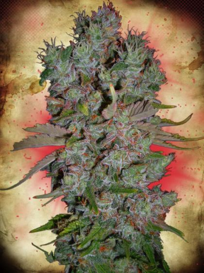 Featured Image of Auto Blueberry Domina