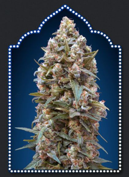 Featured Image of 00 Kush