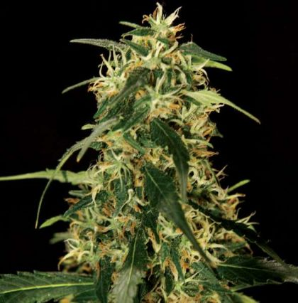 Featured Image of Silver Star Haze