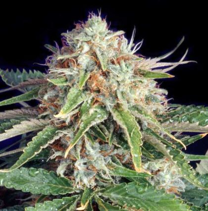 Mostly Indica: Fast Ryder 2