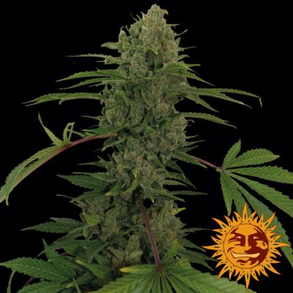 Featured Image of Critical Kush Auto (Former Critical Rapido)