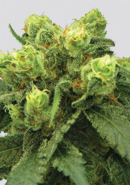 Featured Image of Pre-99 Big Bud