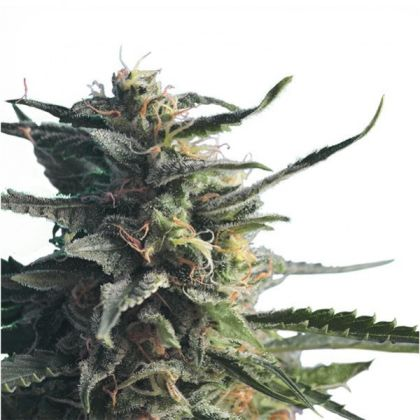 Mostly Indica: Diesel Girl