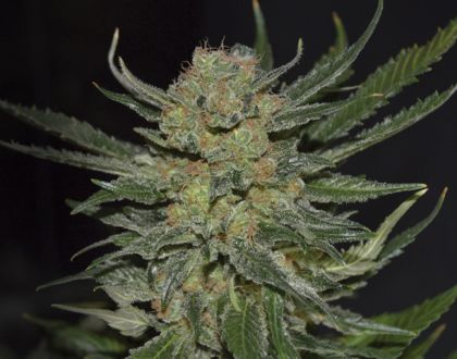 Mostly Indica: Domina