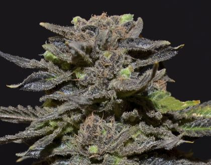 Mostly Indica: Magma