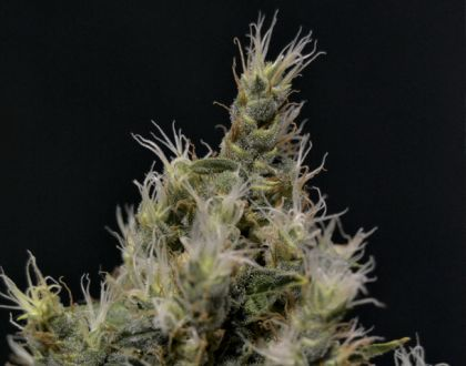 Mostly Sativa: Vanilla Haze