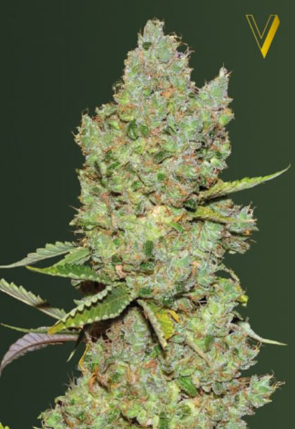 Mostly Indica: Auto Critical