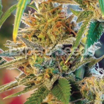 Featured Image of Orange Skunk