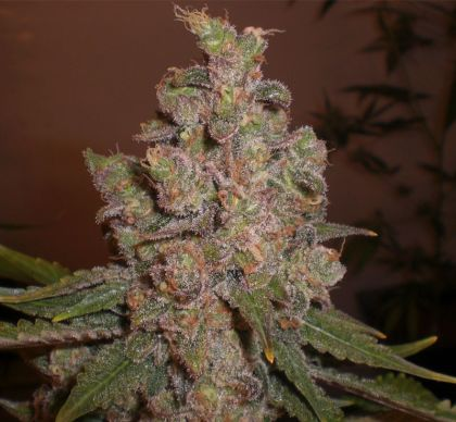 Featured Image of Auto Funky Skunk