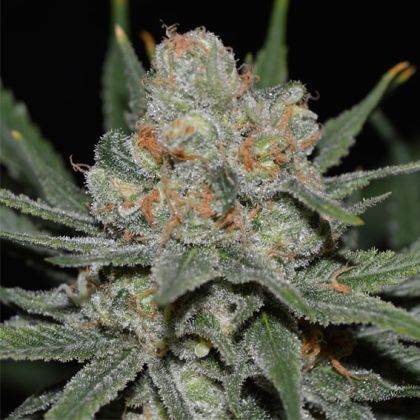 Mostly Sativa: Auto Nevil Bilbo