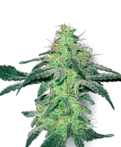 Featured Image of White Skunk