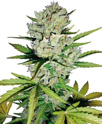 Featured Image of Auto Super Skunk