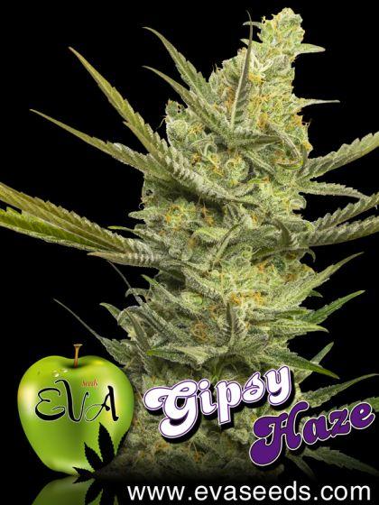 Mostly Sativa: Gipsy Haze
