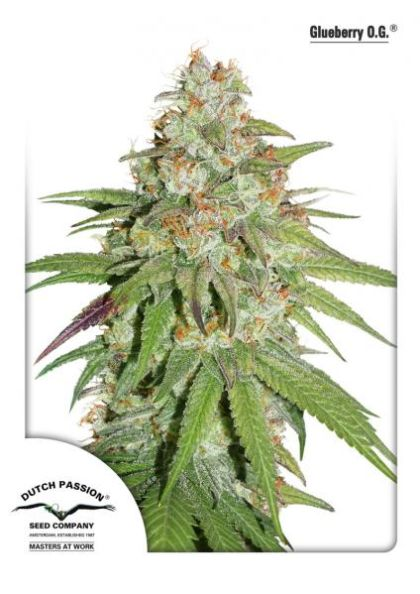 Indica / Sativa: Glueberry O.G.