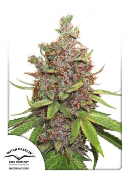 Featured Image of Auto Glueberry O.G.