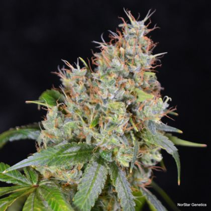 Featured Image of Amnesia Og