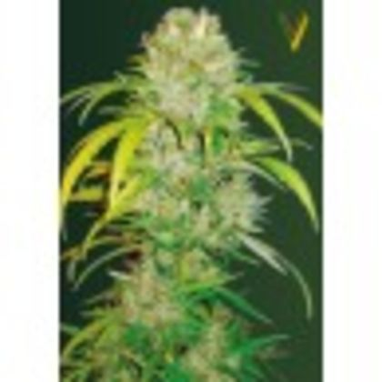 Indica / Sativa: Auto Big Angel