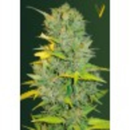 Indica / Sativa: Auto Biggest Bud (Former Auto Big Bud)