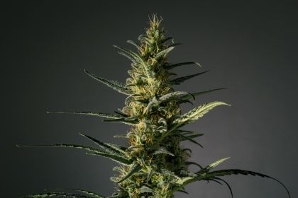 Mostly Sativa: Candida (Cd-1)