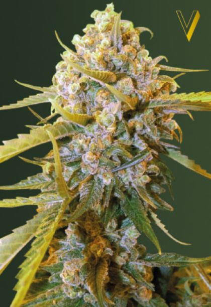 Mostly Indica: Biggest Bud