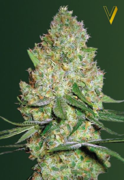 Featured Image of Chronic Monster Xxl