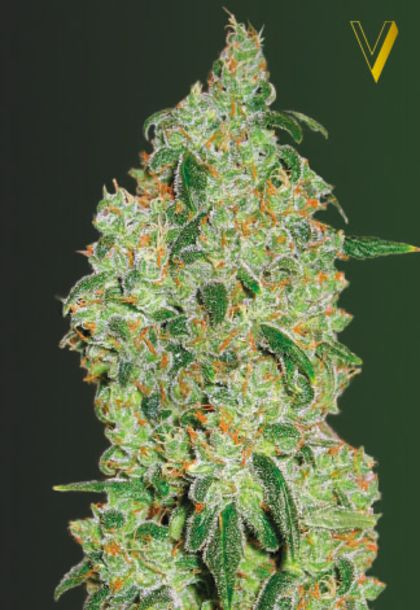 Indica / Sativa: Green Wild Shark