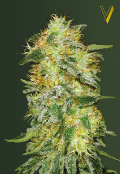 Featured Image of Auto Original Limonade Skunk