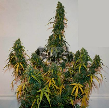 Featured Image of Formula One Autoflowering