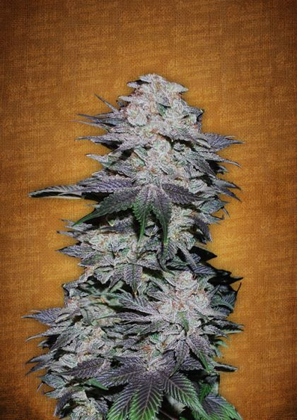 Featured Image of Blackberry Autoflowering