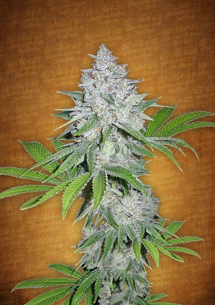 Featured Image of Californian Snow Autoflowering