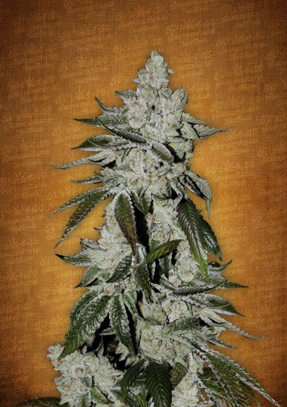 Featured Image of Girl Scout Cookies Autoflowering