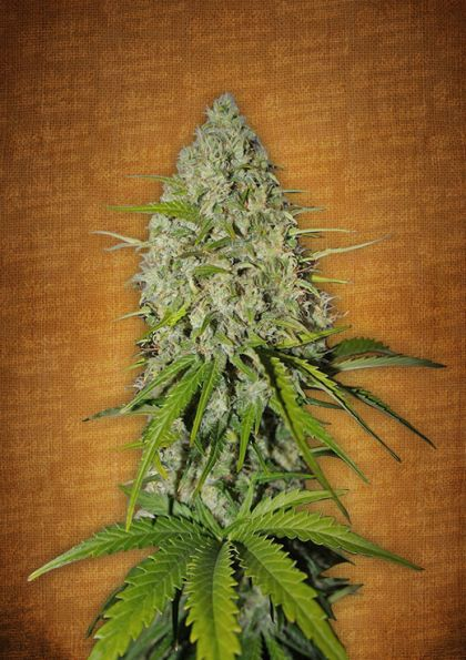 Grapefruit Matic Autoflowering