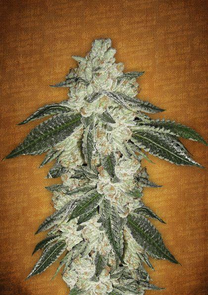 Indica / Sativa: Green Crack Autoflowering