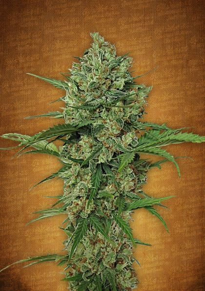 Featured Image of Northern Express Autoflowering