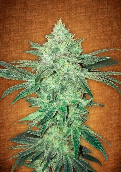 Featured Image of Stardawg Autoflowering