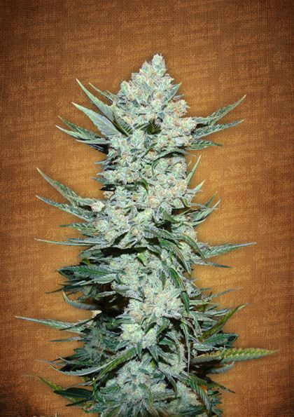 Featured Image of Tangie Matic Autoflowering