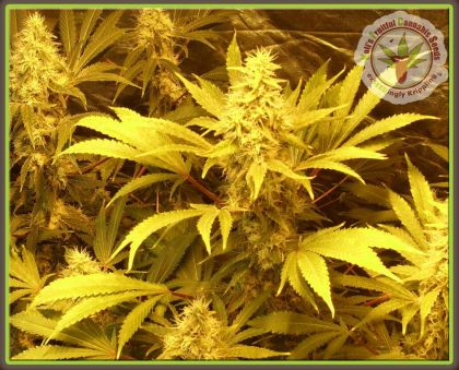 Mostly Indica: Kali And The Chocolate Factory