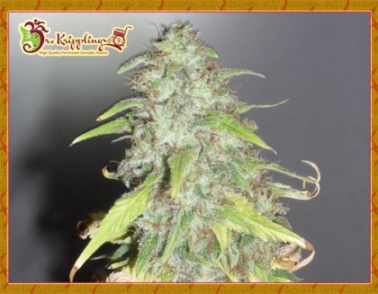 Mostly Indica: Kripple Shock