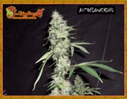 Featured Image of Sonic Bloom Auto