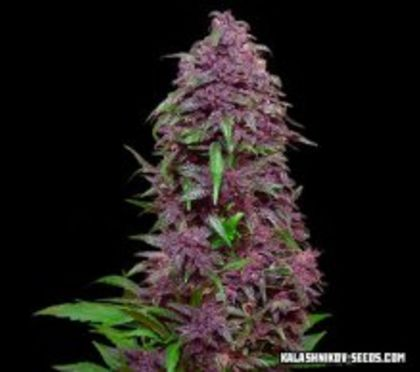 Featured Image of Purple Mazar Auto