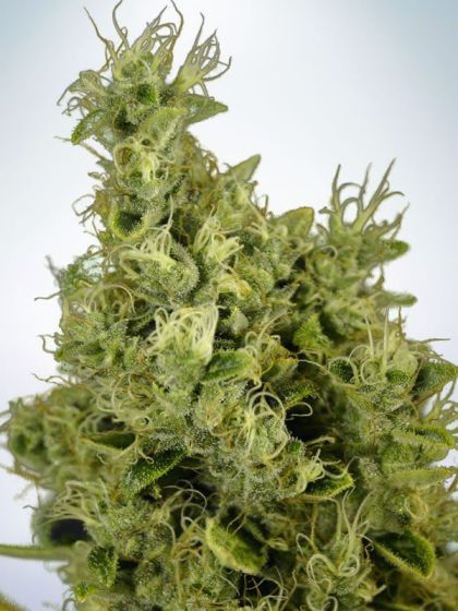 Featured Image of Mandarin Haze