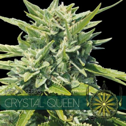 Indica / Sativa: Crystal Queen