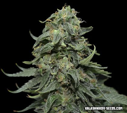Mostly Indica: Kabul Express