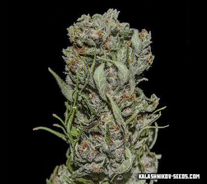 Mostly Sativa: White Critical Express