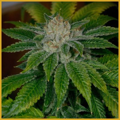 Featured Image of Clearwater Kush