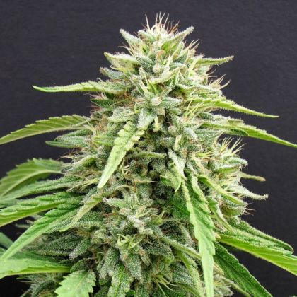 Indica / Sativa: Hippie Killer