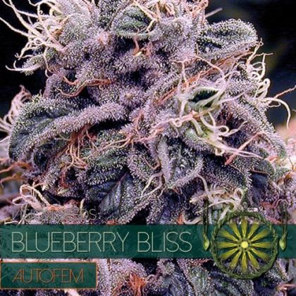 Featured Image of Blueberry Bliss Auto