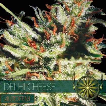 Mostly Indica: Delhi Cheese Auto