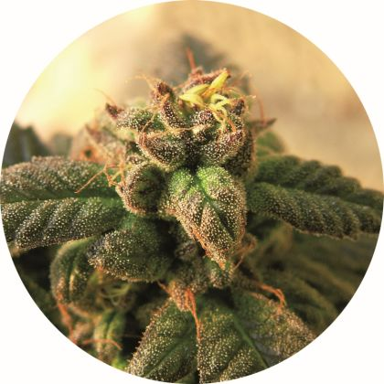 Indica / Sativa: Early Top Tao